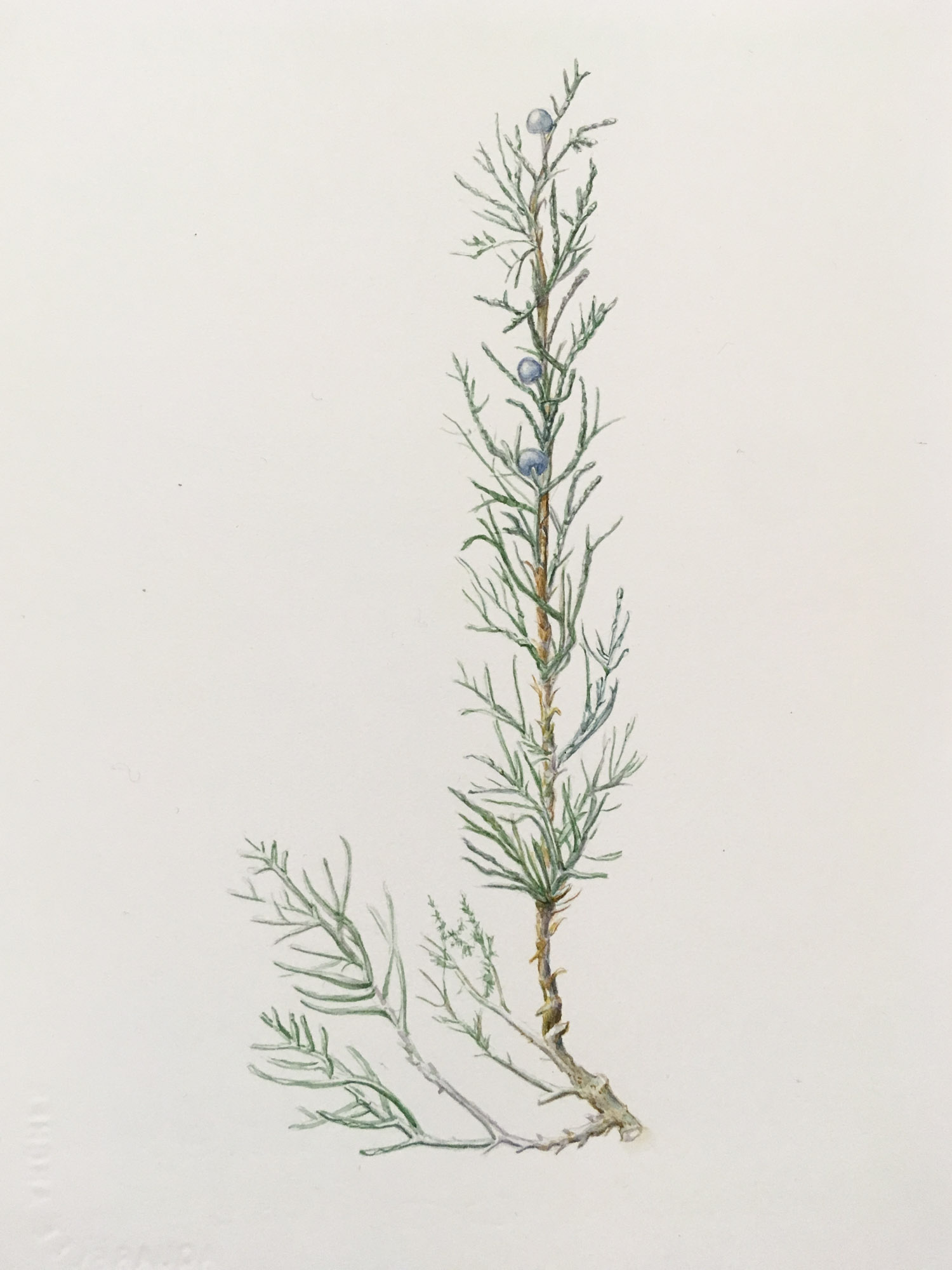 "Juniper, communis, 11"" x 71/2"", watercolor on Arches"