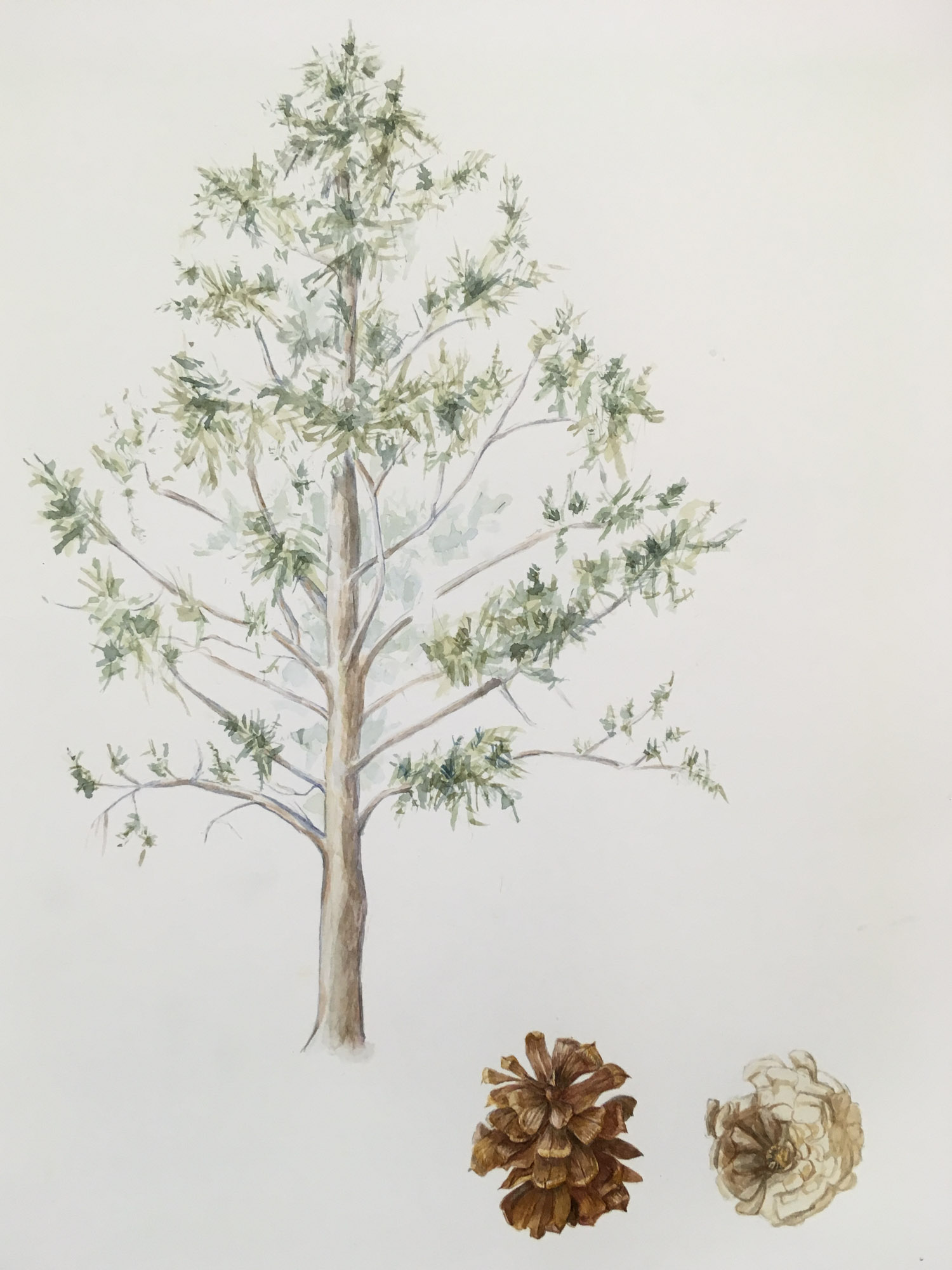 "Pinus, ponderosa, 15"" x 11"", watercolor on Arches"