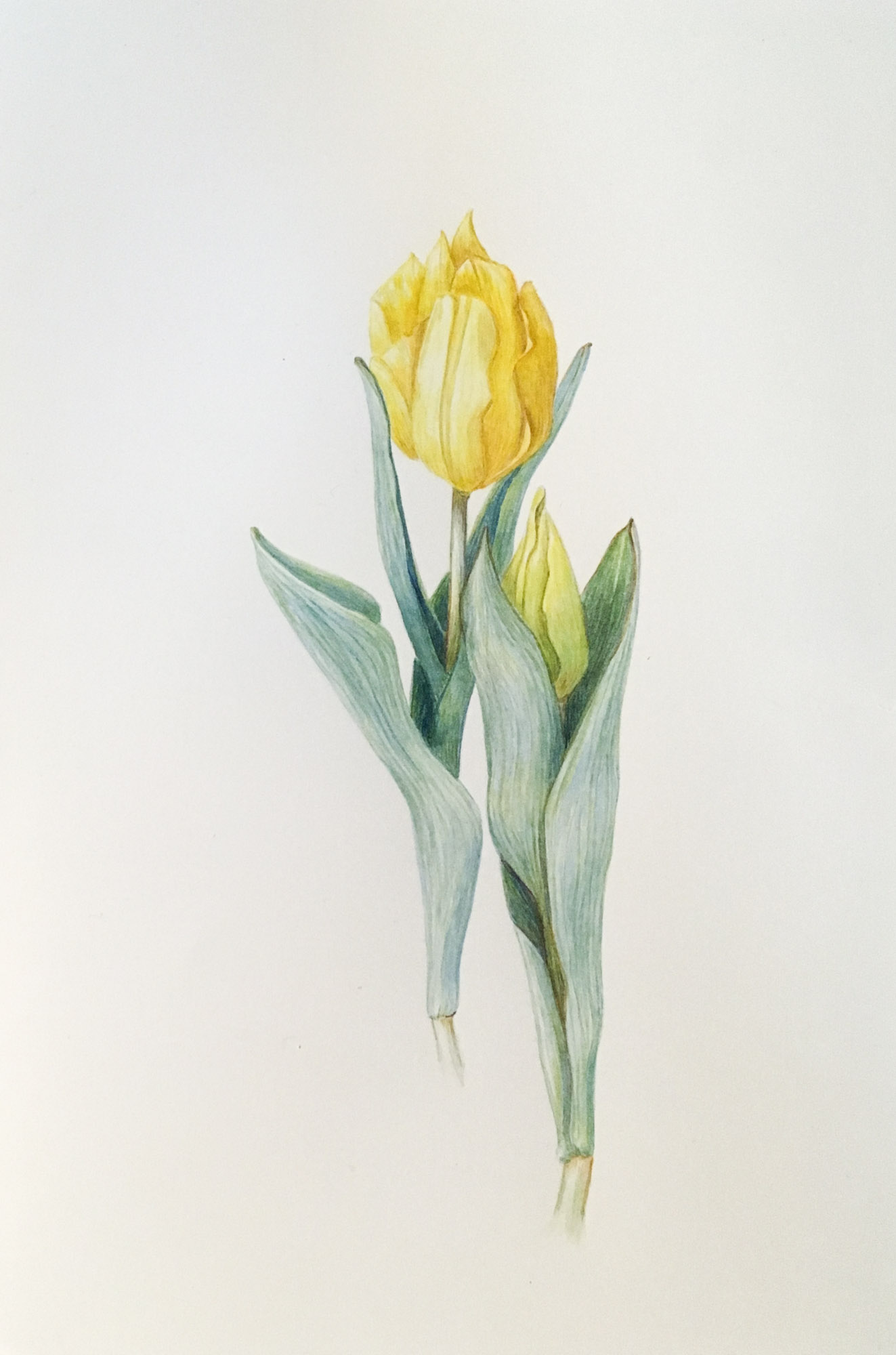 "Tulipa, 71/2"" x 11"", watercolor on Arches"