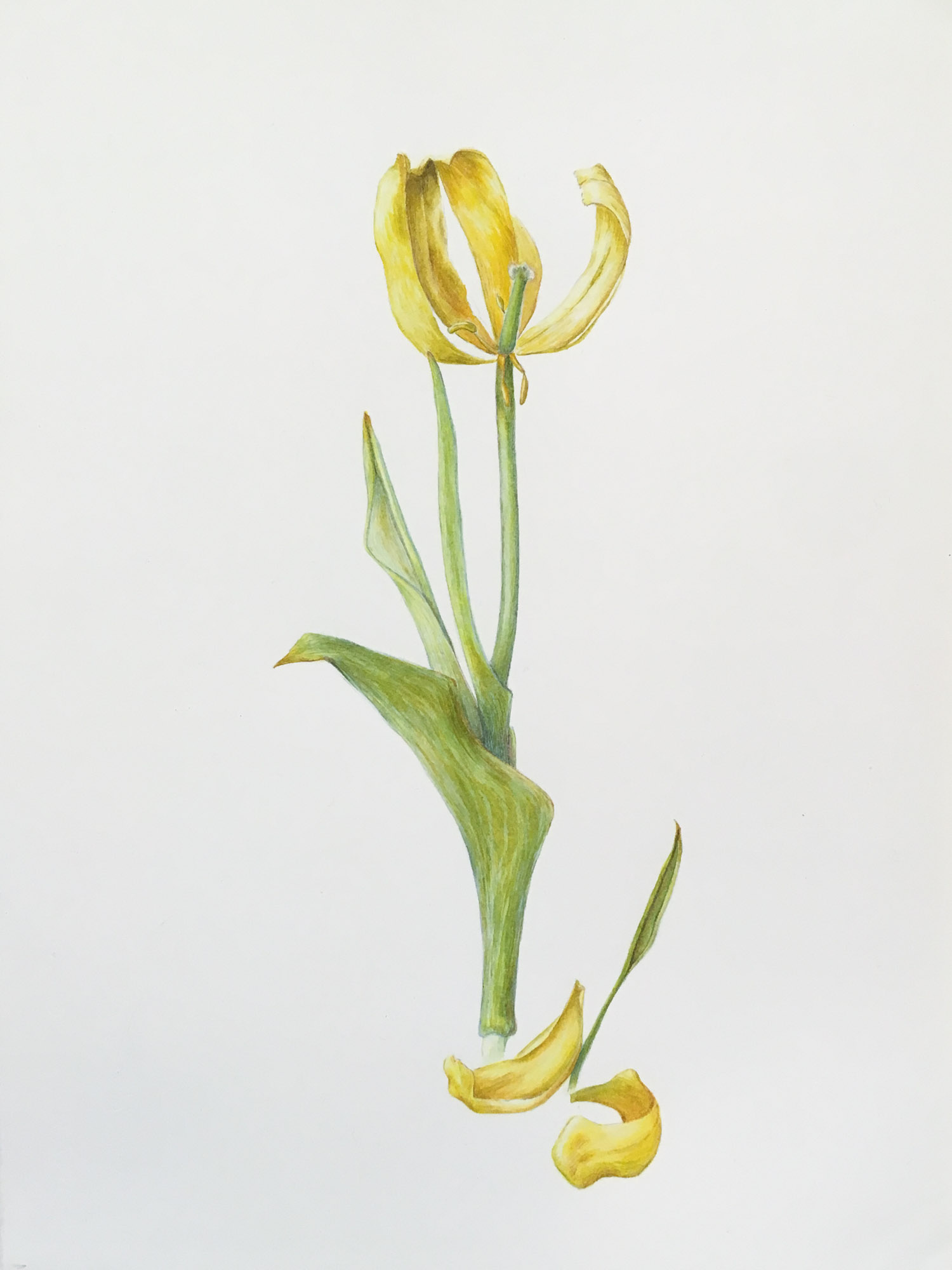 "Withering Yellow Tulip, 15"" x 11"", watercolor on Arches"